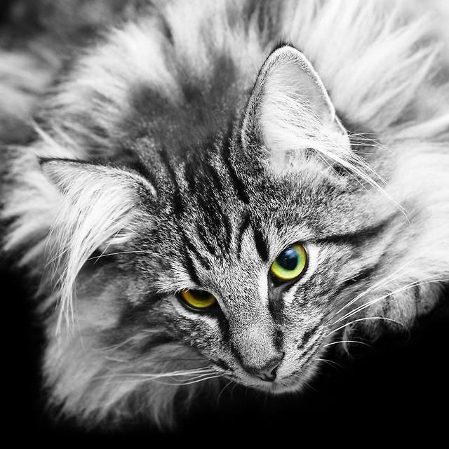 Freja Bogini W Kocim Zaprzęgu Historia Artykuły świat Kotów