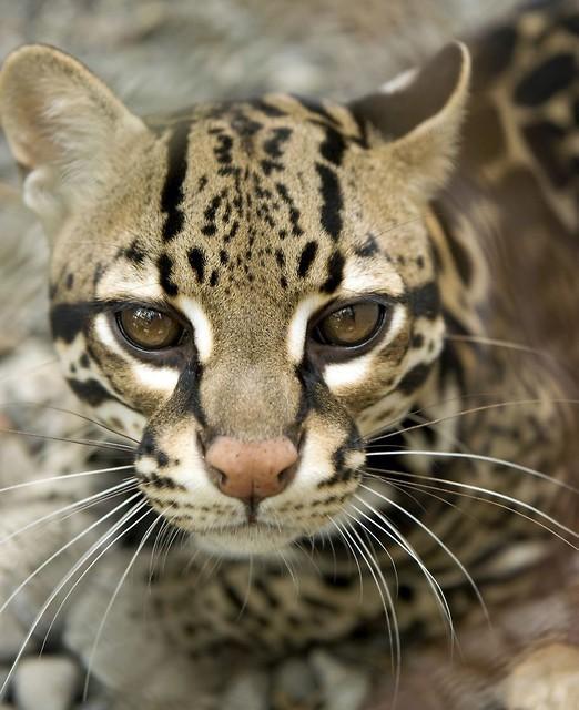 Ocelot Gatunki Artykuły świat Kotów Wiedza Biologia