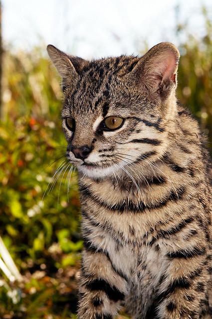 Kot Argentyński Gatunki Artykuły świat Kotów Wiedza