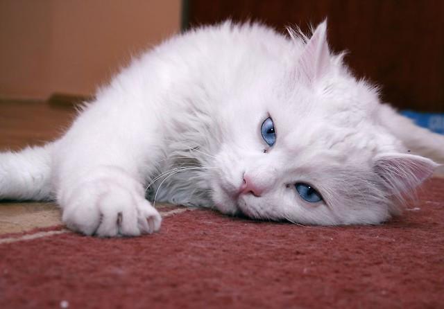 Biały Kot Historia I Kultura Kultura Artykuły świat Kotów