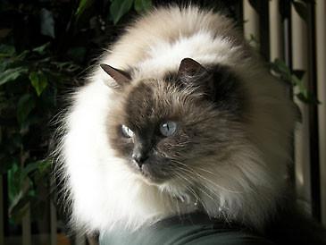 Zaćma U Kota Choroby Artykuły świat Kotów Wiedza Biologia