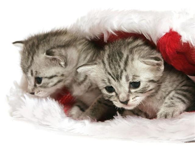 Kot Egipski Mau Rasy świat Kotów Wiedza Biologia Historia