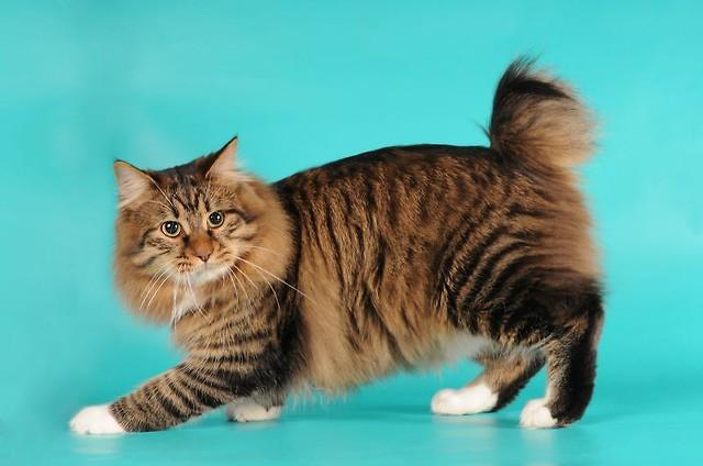Kot Kurylski Bobtail Rasy świat Kotów Wiedza Biologia