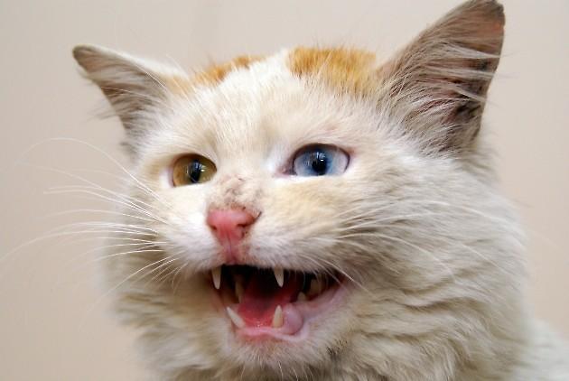 Kot Turecki Van Rasy świat Kotów Wiedza Biologia Historia