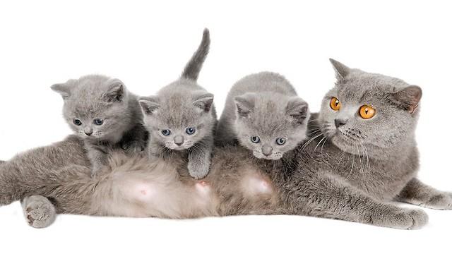 Kot Brytyjski Krótkowłosy Rasy świat Kotów Wiedza Biologia